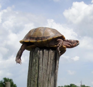 A Turtle on a Fence Post
